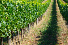 Rows of grapes in Tuscany Stock Photos