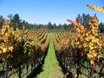 Rows of Grapes in Vineyard. Rows of Fine Quality Organic Grapes in Santa Rosa, California Stock Photos