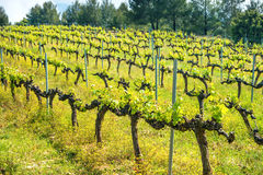 Rows of grapes in a vineyard Stock Photos