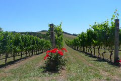 Rows of grapes in a vineyard Royalty Free Stock Images