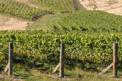Rows of grapes in vineyard Stock Images