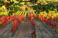 Rows of Grapes in a vineyard royalty free stock photo