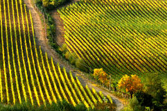Rows of grapes in a vineyard in tuscany royalty free stock photography