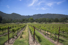 Rows of grapes  in the wine growing region of Napa Valley Stock Photos
