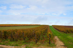 Rows of grapes in winery garden Stock Photo
