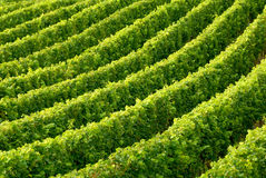 Rows of grapevine. In soft daylight building a diagonal, slightly curved pattern stock photos