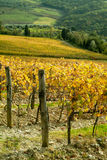 Rows of grapevine in autumn. Rows of grapevine with yellow leaves Stock Photography