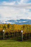 Rows of grapevine in autumn Royalty Free Stock Photo