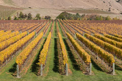 Rows of grapevine in autumn vineyard Stock Photo