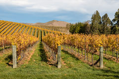 Rows of grapevine in autumn vineyards Royalty Free Stock Photography