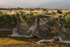 Rows of grapevine covered in netting. Rows of grapevine in vineyard covered in netting Stock Photo