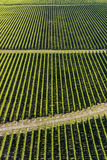 Rows of grapevine in vineyard Stock Photos