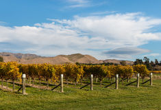 Rows of grapevine in vineyard in autumn Royalty Free Stock Image