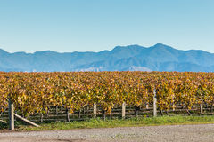 Rows of grapevine in vineyard with mountains and copy space. Rows of grapevine after harvest with mountains and copy space stock image