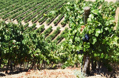 Rows of grapevine in vineyards, Portugal Stock Image