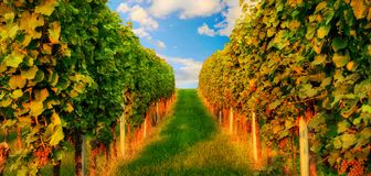 Rows of grapevine in warm sunlight Stock Images