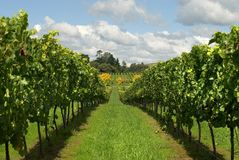 Rows of Grapevines Royalty Free Stock Image