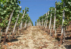 Rows of grapevines Royalty Free Stock Images