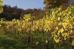 Rows of grapevines in Autumn Royalty Free Stock Image