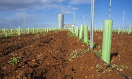Rows of grapevines buds protected by tree shelter tubes and irrigated by dripping system royalty free stock photos