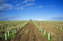 Rows of grapevines buds protected by tree shelter tubes and irrigated by dripping system stock images