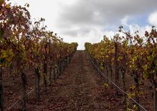 Rows of grapevines in Carneros, California. Royalty Free Stock Photography