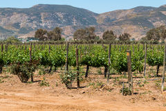 Rows of Grapevines in Ensenada, Mexico Stock Image