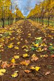 Rows of Grapevines in Fall Season Oregon USA America Stock Image