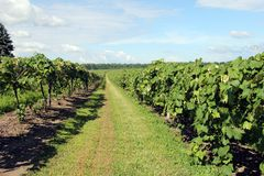 Rows of Grapevines in a Vineyard. Rows of Grapevines growing in an active Vineyard stock photo