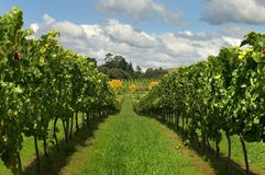 Rows of Grapevines growing in a vineyard Stock Photos