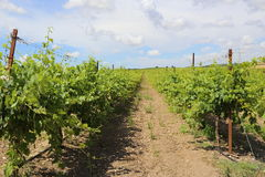 Rows of grapevines growing in a vineyard Royalty Free Stock Photography