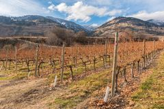 Rows of grapevines in late autumn with snow covered mountains in background royalty free stock photos