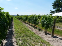 Rows of grapevines Stock Image