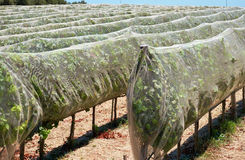 Rows of grapevines protected with bird netting in the countrysid. The rows of grapevines protected with the bird netting in the countryside near Mdina, Malta Stock Photos