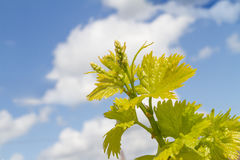 Rows of grapevines in spring time with young grape Stock Photography