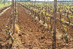 Rows of grapevines in spring time with young grape Royalty Free Stock Images