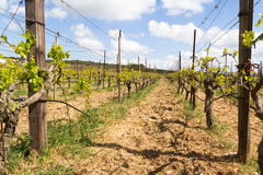 Rows of grapevines in spring time with young grape Stock Images