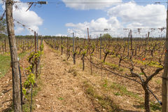 Rows of grapevines in spring time with young grape Stock Image
