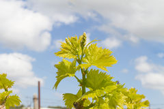 Rows of grapevines in spring time with young grape Royalty Free Stock Image