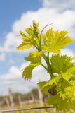 Rows of grapevines in spring time with young grape Royalty Free Stock Photography