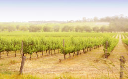 Rows of grapevines at sunrise Royalty Free Stock Images