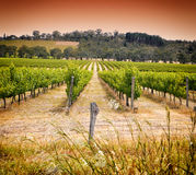 Rows of grapevines taken at Australia's prime wine growing winery - sunset Royalty Free Stock Image