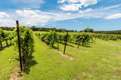 Rows of Grapevines  in Texas Hill Country Royalty Free Stock Photo