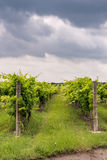 Rows of grapevines in Texas Hill Country Royalty Free Stock Photography