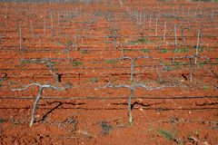 Rows of grapevines in vineyard Royalty Free Stock Photography