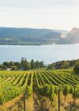 View of rows of grapevines in vineyard with Okanagan Lake, mountains, and setting sun in background in summer stock photography