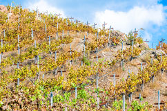 Rows of grapevines in a vineyard Stock Photo