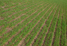Rows of green agriculture fields fresh sprouts new grass growing Royalty Free Stock Images