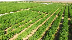 Rows Of Green Apple Trees Growing In Large Orchard. This is an aerial rotating view over numerous rows of green apple trees moved by the wind in large standard stock video footage