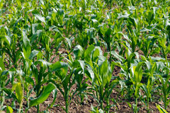 Rows of green corn crops. Bright green leaves of corn plants in sun as natural background Royalty Free Stock Photography